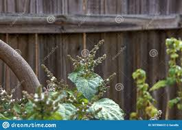 Flowering Patchouli Plant Against Wooden Fence Stock Photo Image Of Seed Green 167356612