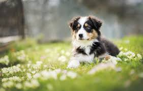 meadow puppy wallpaper from 777