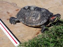 Red Eared Invaders Threaten Native Turtles And Human Health Boating Environmental Forum Anr Blogs