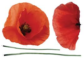 Poppies Wall Decals Contemporary Wall Decals By Wallpops