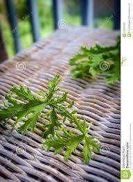 Citronella Plant Mosquito Repellant Stock Photo Image Of Fresh Organic 123855360