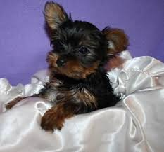 registered tiny teacup yorkie puppies