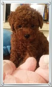 texas red poodles
