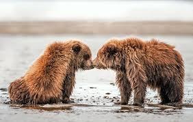 un bear lievably cute brown bear cubs