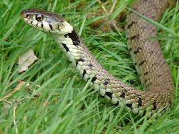 Diy Remedies For Snakes Snake Prevention And Control