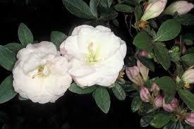 Maxine West - Robin Hill Azalea | Azaleas, Flowers, Maxine