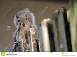 Cute Squirrel On Fence Stock Image Image Of Brave Bust 55054981