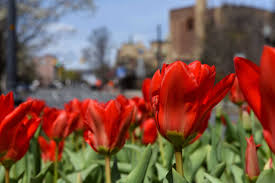albany to hold a virtual tulip festival