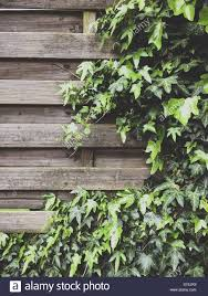 Ivy Growing On A Wooden Fence In London Stock Photo Alamy