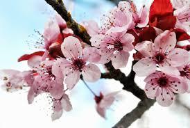 Image result for hoa xuân ngày tết