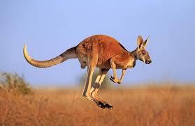 Kangaroo tấn công làm 3 người bị thương ở Australia - Thế giới