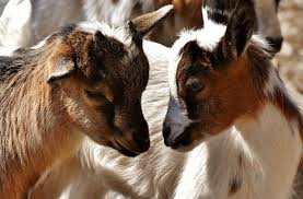Halal Goat Farming From Farm To Plate Agriculture Monthly