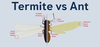 42+ Termites Winged Reproductive Gif