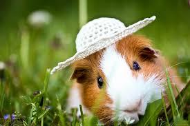 cute guinea pig wallpaper 2048x1365