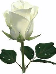 ♥Rosa♥♥ | White rose png, White rose pictures, White roses