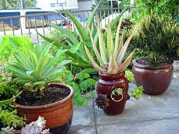 tall outdoor potted plants fashionway