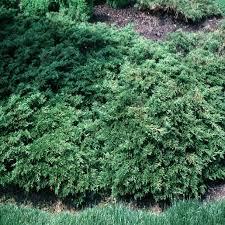 juniperus sabina monna calgary carpet