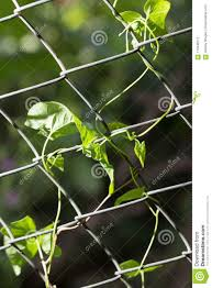 Climbing Plant On The Fence To Nature Stock Photo Image Of Pretty Metal 110449712