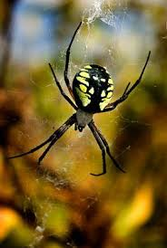 yellow garden spider lovetoknow
