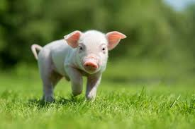 Enzymes and feed efficiency in pigs