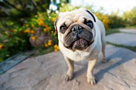 shallow focus photography of fawn pug