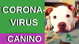 CORONAVIRUS CANINO/ CORONAVIRUS FELINO. - YouTube