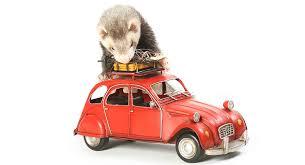 diy ferret toys fabulously free ways