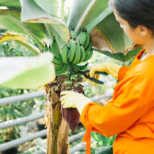 Close-up of a gardener cutting bunch of bananas with secateurs ...