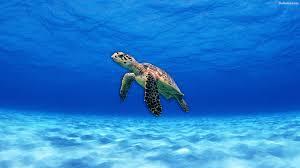 turtle wallpaper hd 32029 baltana