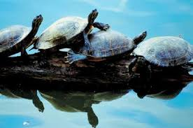 What Kind Of Wall Will Keep My Turtles In A Small Pond Animals Mom Com