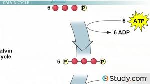 dark reactions of photosynthesis the
