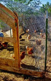 Cricket Song Farm Cattle Panels Make A Sturdy Chicken Run Hoop Coop