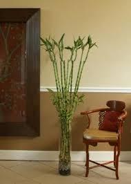 xian miami bamboos