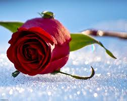beautiful rose pictures for facebook