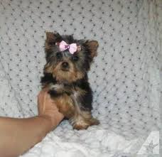 teacup yorkie puppies brisbane the