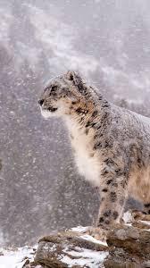 snow leopard 1080x1920