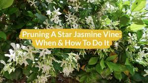 Pruning A Star Jasmine Vine How When To Do It Joy Us Garden Youtube