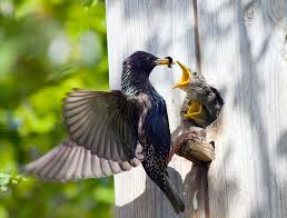 3 proven ways to get rid of starlings