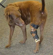 canine knee brace for acl injury