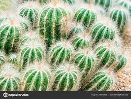 bunch green small cactuses rock garden