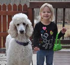 picket fence poodle rescue minnesota