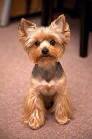yorkie haircut with images yorkie