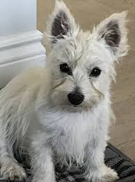Gracie - West Highland Terrier Rescue Westies in Need Canada