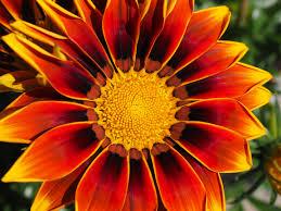 Free fotobanka : květ, okvětní lístek, Červené, botanika, žlutý ...