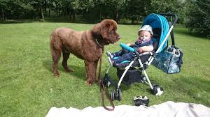 Newfoundland Dog Breed: Are They a Good ...