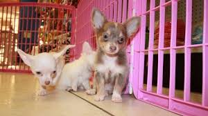 hair chihuahua puppies