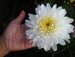 arti dan makna bunga krisan com