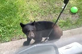 Video Black Bear Hops Backyard Fence To Say Hello To Abbotsford Family Hope Standard