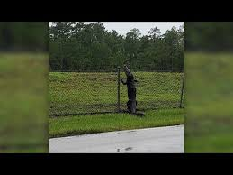 Alligator Climbing A Fence Caught On Video Youtube