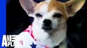 chihuahua dogs 101 you